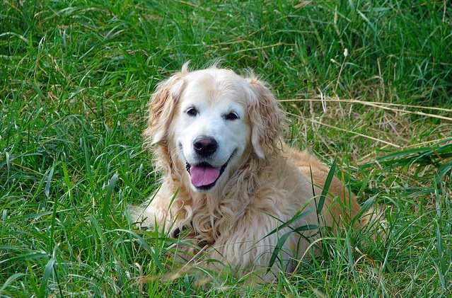 Golden retriever w trawie